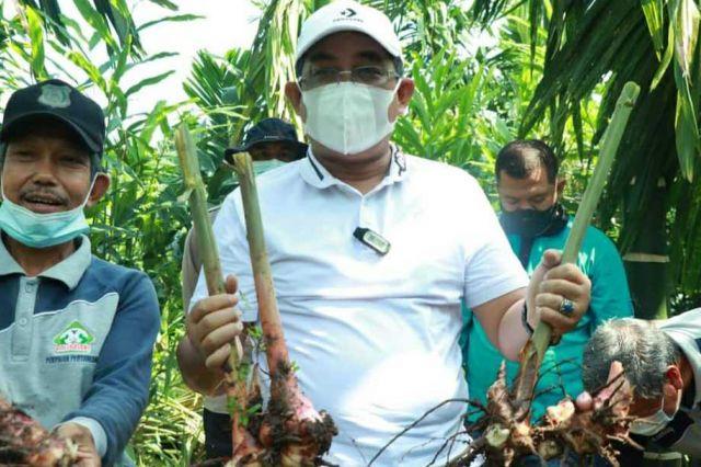 Bupati Anwar Sadat Laksanakan Panen Raya Kebun Laos di Dusun Karya Lestari
