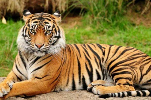 BKSDA Pasang Perangkap Buru Harimau yang Tewaskan Warga di Merangin