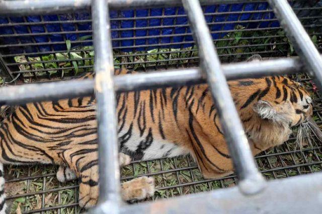 Harimau yang Menewaskan Warga di Merangin Berhasil Ditangkap